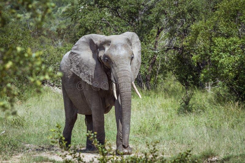 Αφρικανικός ελέφαντας θάμνων στο εθνικό πάρκο Kruger, Νότια Αφρική στοκ εικόνες