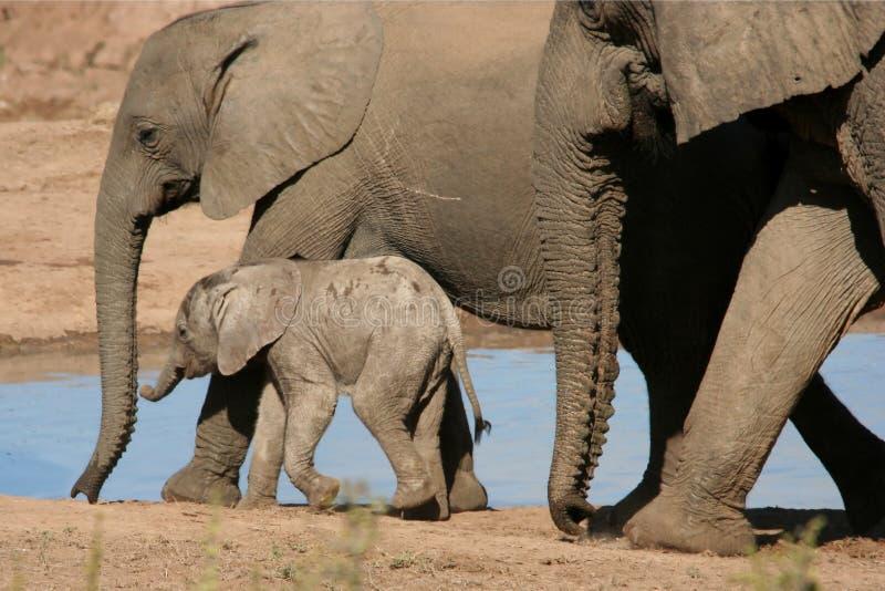 αφρικανικός ελέφαντας μωρών στοκ εικόνες