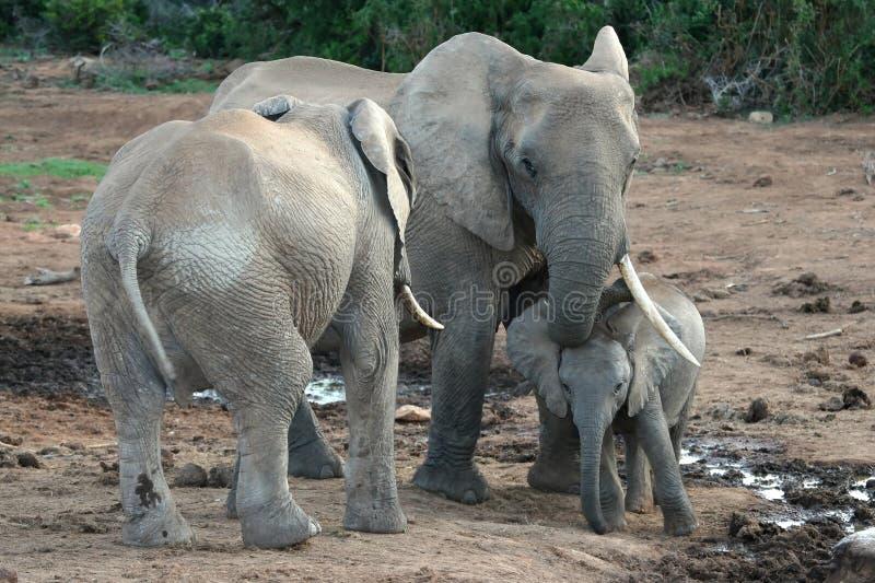 αφρικανικός ελέφαντας μω στοκ εικόνες