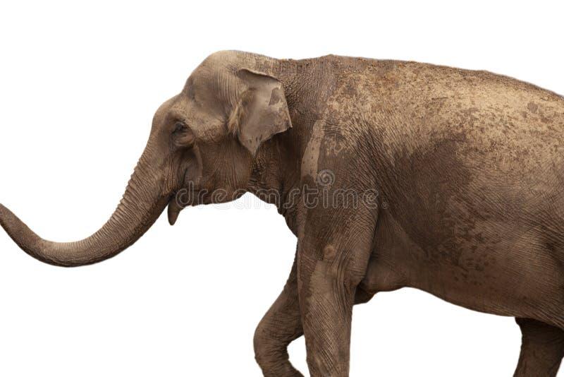 Αφρικανικός ελέφαντας που απομονώνεται στο άσπρο υπόβαθρο στοκ φωτογραφίες