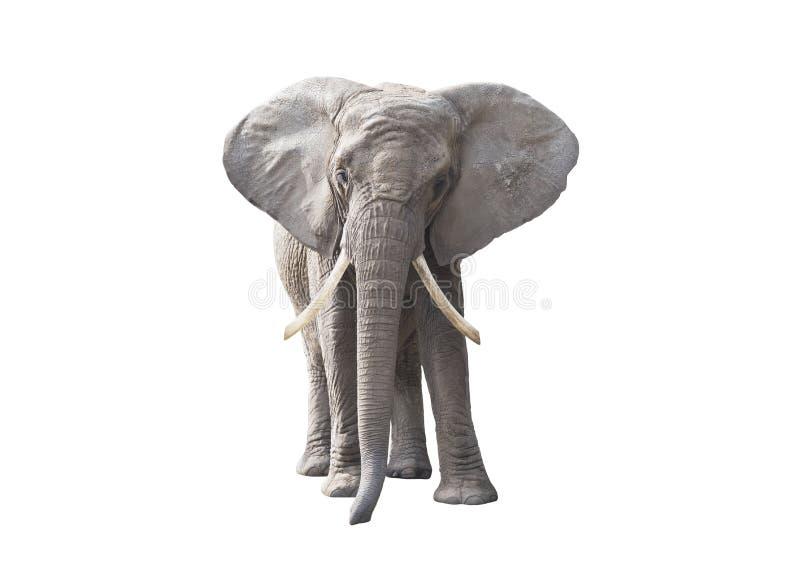 Αφρικανικός ελέφαντας που απομονώνεται στο άσπρο υπόβαθρο στοκ φωτογραφία