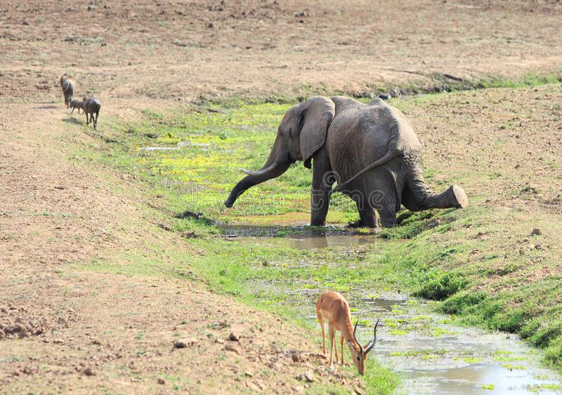 Αφρικανικός ελέφαντας σε ένα γόνατο που γονατίζει παίρνοντας ένα ποτό από ένα ρεύμα στο εθνικό πάρκο νότιου Luangwa, Ζάμπια στοκ φωτογραφία με δικαίωμα ελεύθερης χρήσης