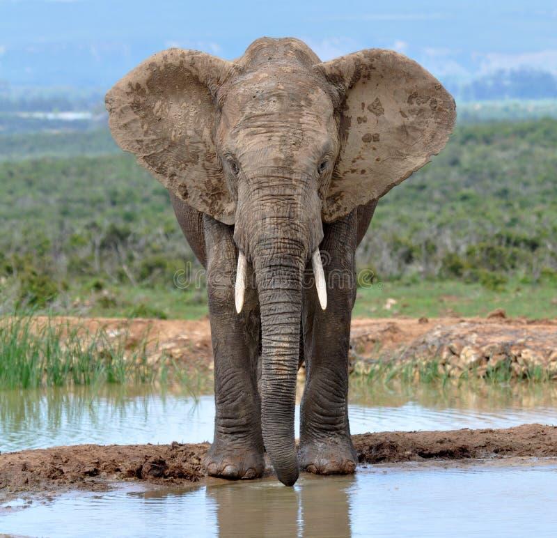 αφρικανικός ελέφαντας τη& στοκ φωτογραφίες