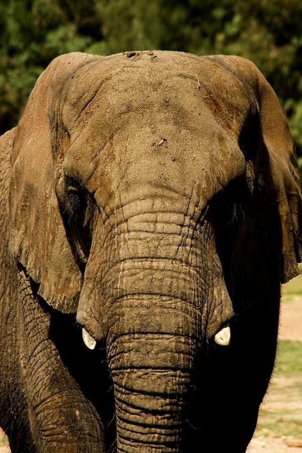 Download αφρικανικός ελέφαντας στοκ εικόνα. εικόνα από κλείστε - 13186707