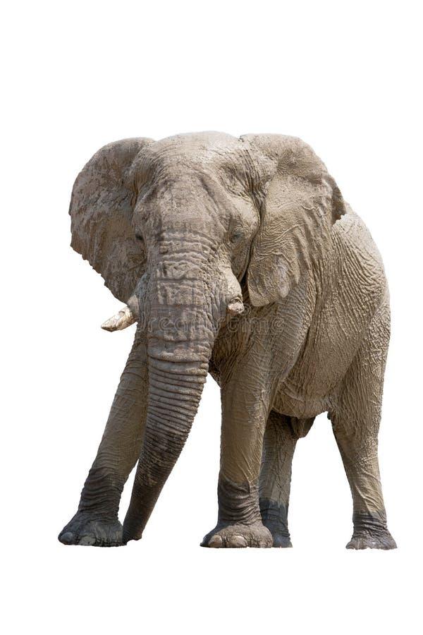 Αφρικανικός ελέφαντας ερήμων που απομονώνεται στο άσπρο υπόβαθρο στοκ φωτογραφίες με δικαίωμα ελεύθερης χρήσης