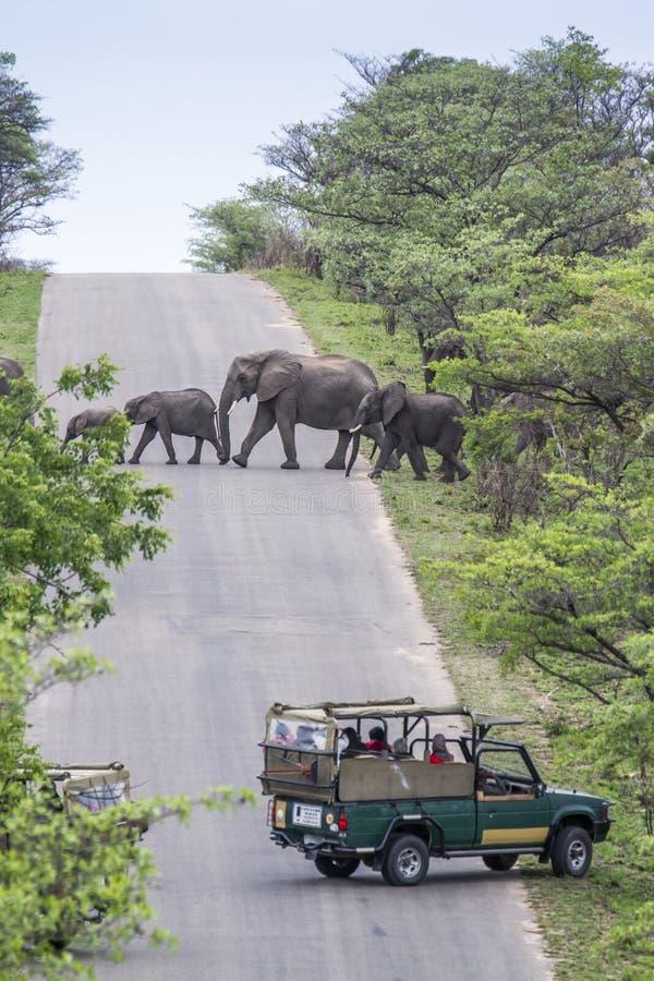 Αφρικανικός ελέφαντας θάμνων στο εθνικό πάρκο Kruger, Νότια Αφρική στοκ εικόνα