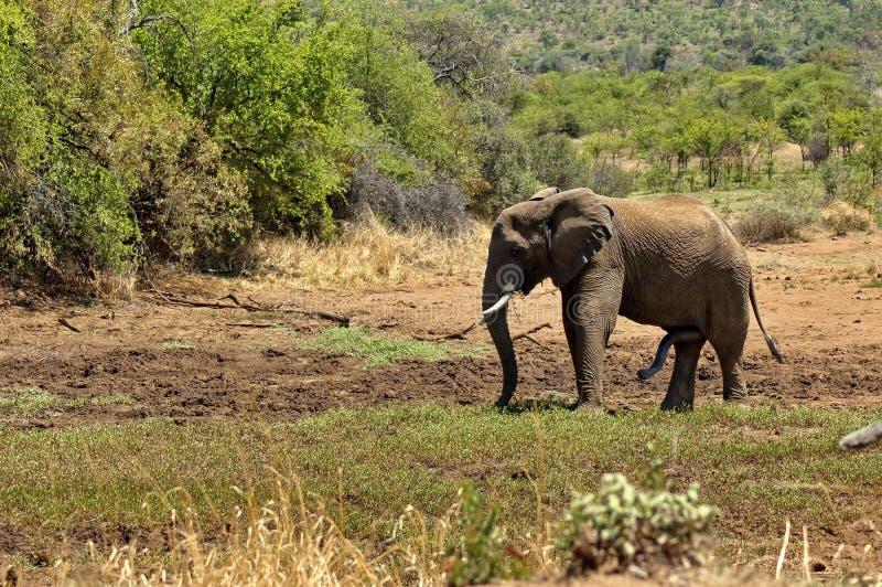 Αφρικανικός ελέφαντας στο εθνικό πάρκο Pilanesberg στοκ φωτογραφία