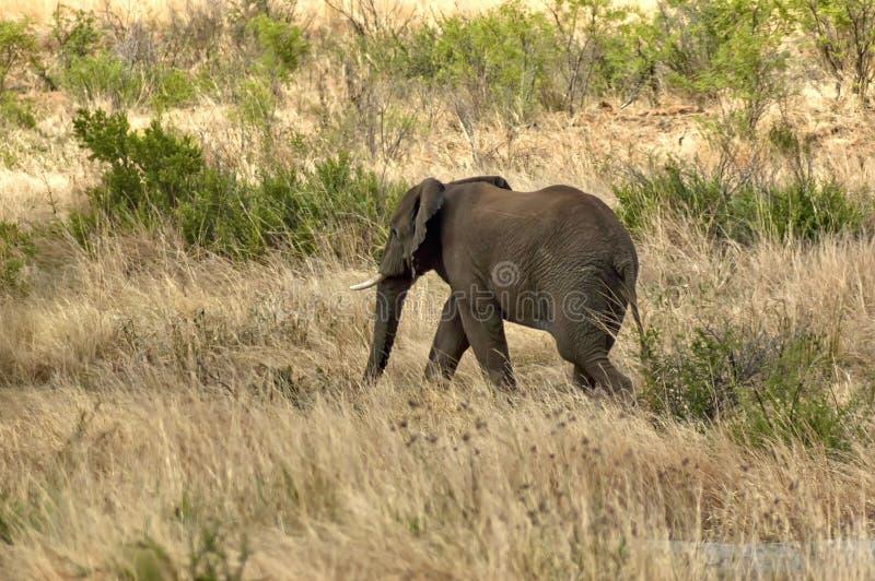 Αφρικανικός ελέφαντας στο εθνικό πάρκο Pilanesberg στοκ εικόνες