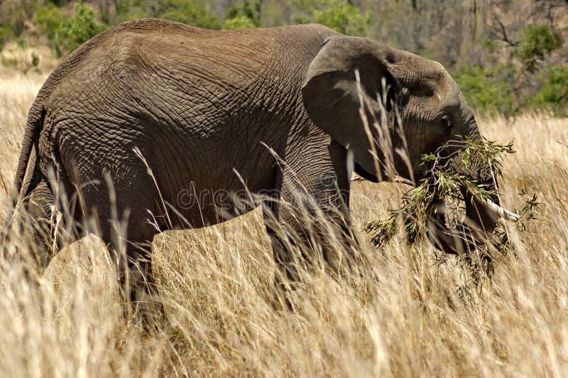 Αφρικανικός ελέφαντας στο εθνικό πάρκο Pilanesberg στοκ φωτογραφίες