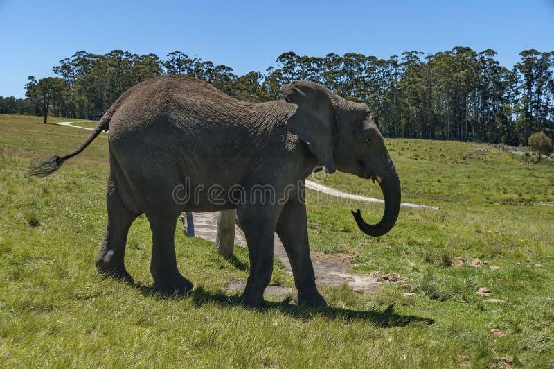 Αφρικανικός ελέφαντας στο παρεκκλησι & την επιφύλαξη Lapa στοκ φωτογραφία
