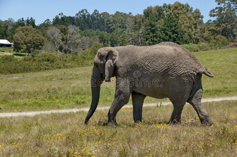 Αφρικανικός ελέφαντας στο παρεκκλησι & την επιφύλαξη Lapa στοκ εικόνες