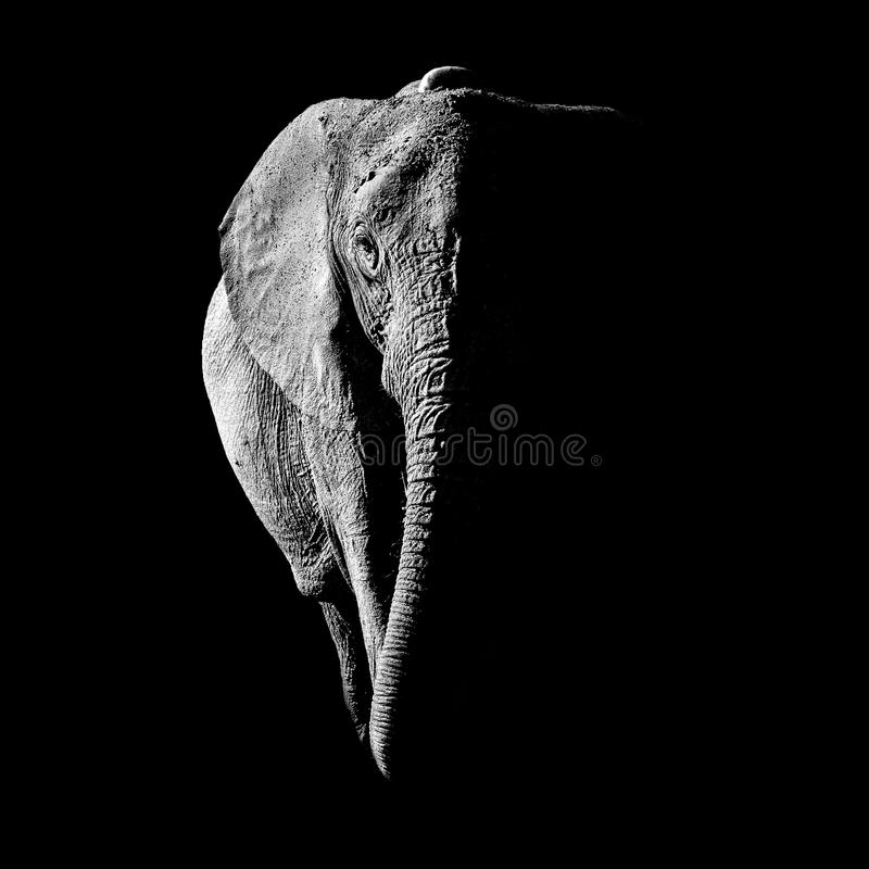 αφρικανικός ελέφαντας στοκ φωτογραφίες