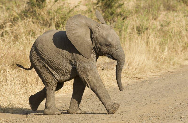 αφρικανικός νότος ελεφάντων μωρών της Αφρικής στοκ εικόνες με δικαίωμα ελεύθερης χρήσης