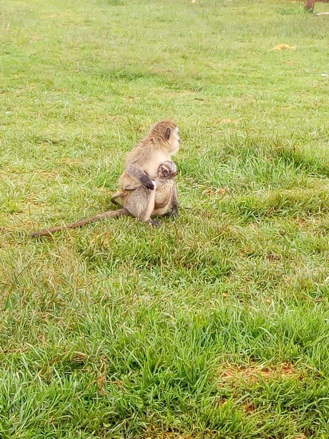 αφρικανικός πίθηκος στοκ εικόνα