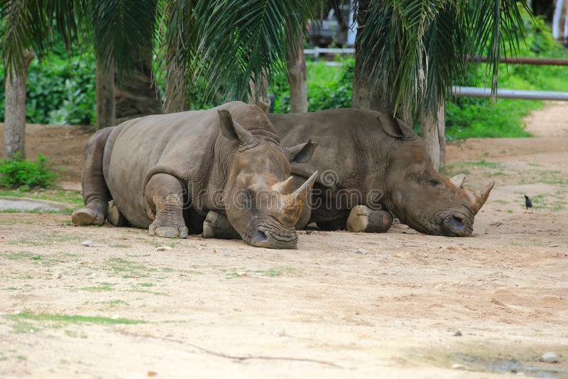 αφρικανικός ρινόκερος στοκ εικόνες