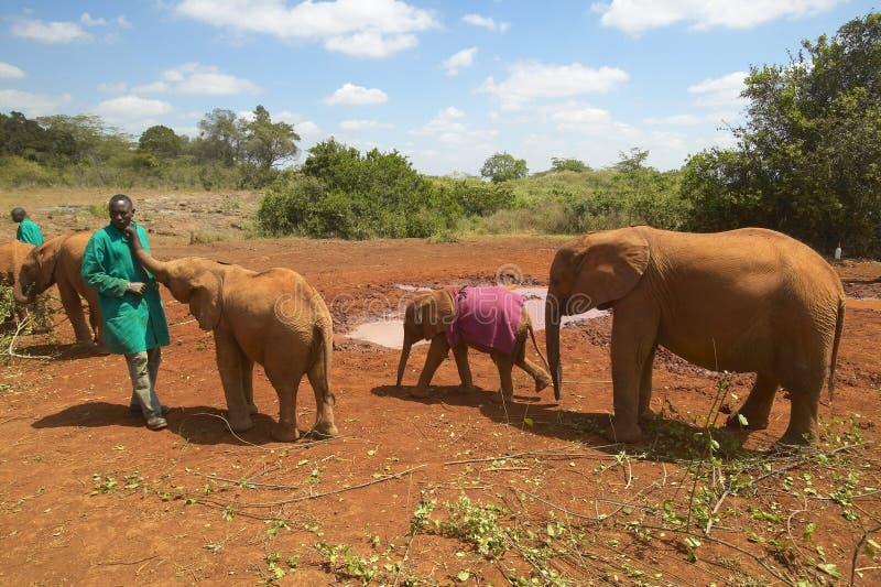 Αφρικανικός φύλακας ελεφάντων με τον υιοθετημένο αφρικανικό ελέφαντα μωρών στο Δαβίδ Sheldrick Wildlife Trust στο Ναϊρόμπι, Κένυα στοκ φωτογραφία