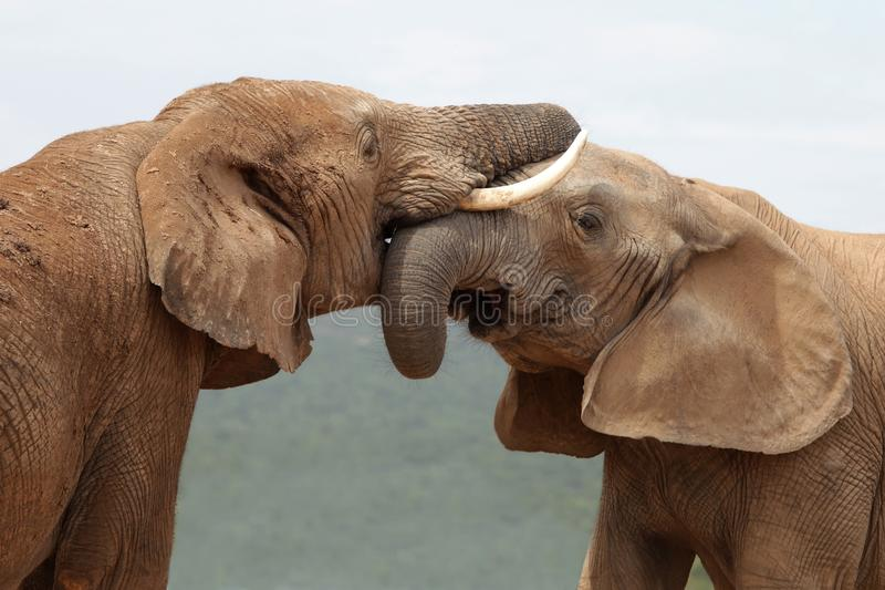 αφρικανικός χαιρετισμός ελεφάντων στοκ φωτογραφίες
