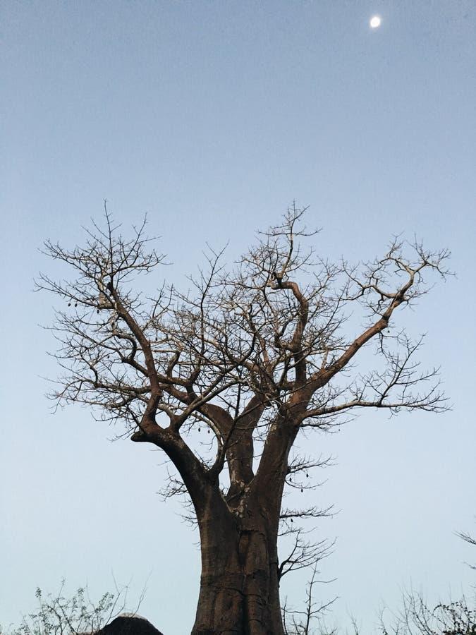 Αφρικανικό δέντρο με το φεγγάρι στοκ εικόνα