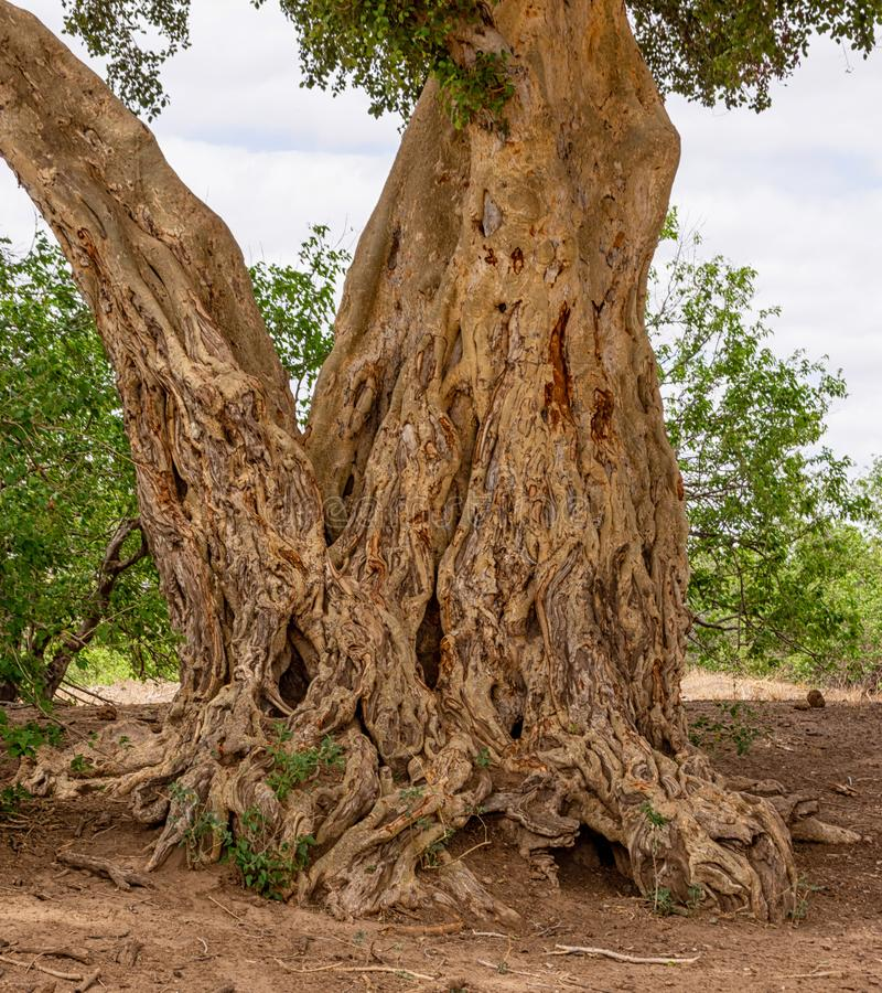 αφρικανικό δέντρο στοκ εικόνες