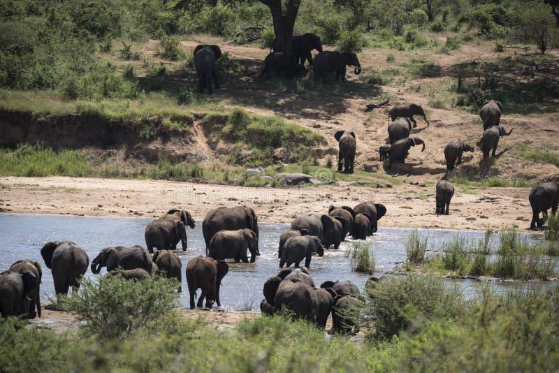 Αφρικανικό κοπάδι αναπαραγωγής ελεφάντων στοκ εικόνες