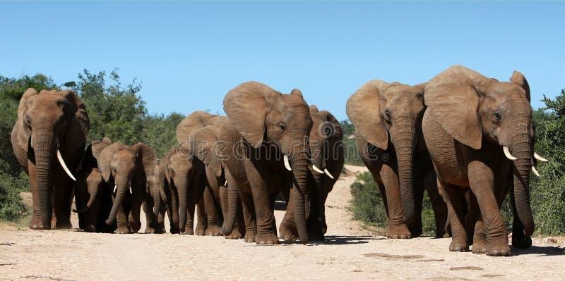 αφρικανικό κοπάδι ελεφάντων στοκ φωτογραφία με δικαίωμα ελεύθερης χρήσης
