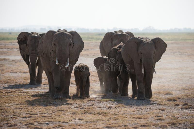 Αφρικανικό κοπάδι ελεφάντων στις άγρια περιοχές. στοκ εικόνες με δικαίωμα ελεύθερης χρήσης