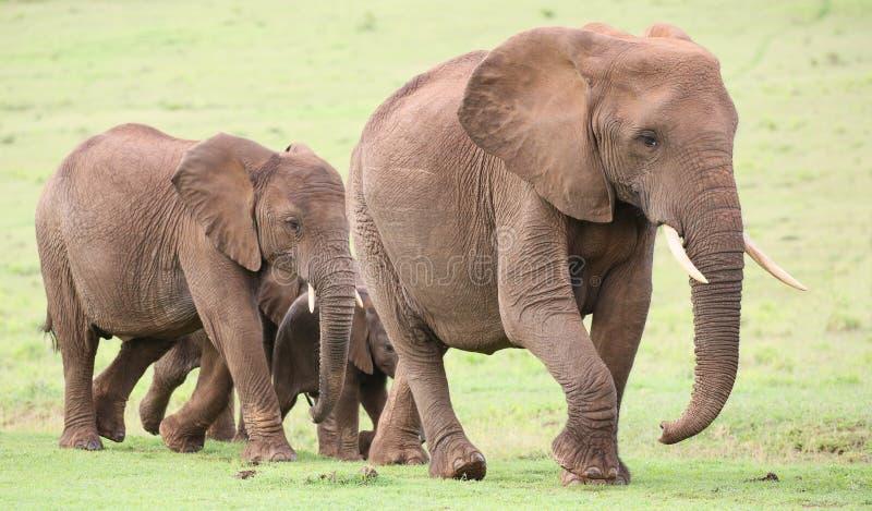 αφρικανικό κοπάδι ελεφάν&ta στοκ εικόνα με δικαίωμα ελεύθερης χρήσης