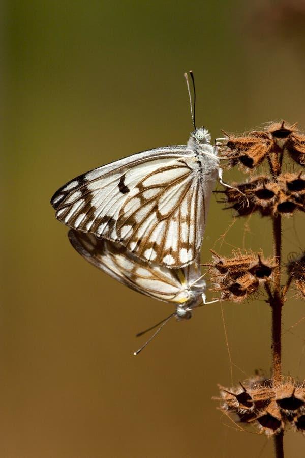 Αφρικανικό λευκό καπάρων, aurota Belenois στοκ φωτογραφίες