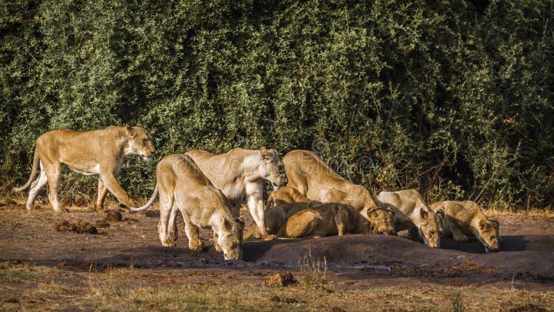 Αφρικανικό λιοντάρι στο εθνικό πάρκο Kruger, Νότια Αφρική στοκ φωτογραφία