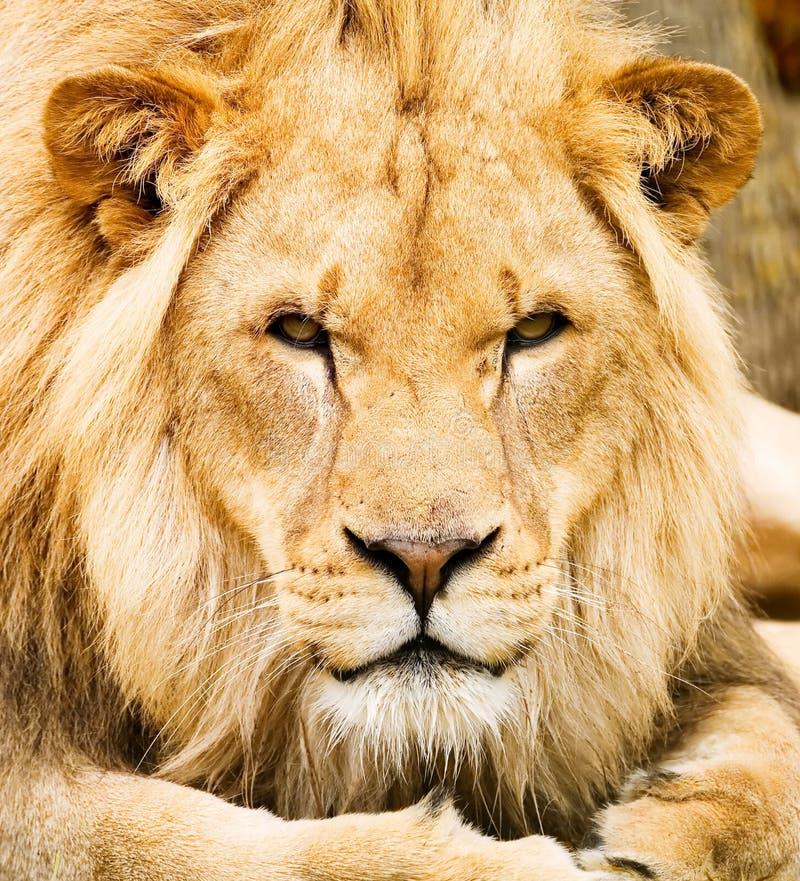 αφρικανικό λιοντάρι στοκ φωτογραφίες