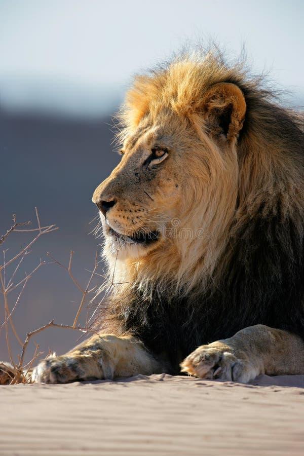 αφρικανικό μεγάλο αρσενικό λιονταριών στοκ εικόνες με δικαίωμα ελεύθερης χρήσης