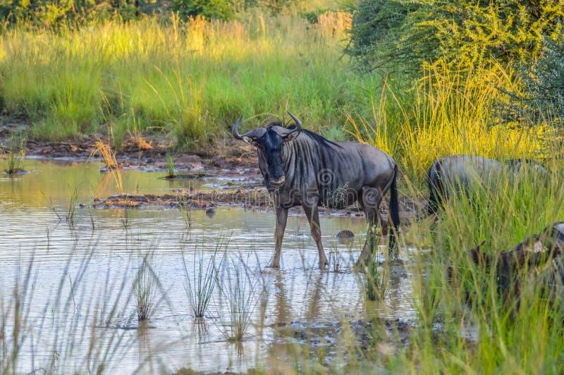 Αφρικανικό μπλε πιό wildebeest πόσιμο νερό από ένα φράγμα σε μια επιφύλαξη παιχνιδιού κατά τη διάρκεια του σαφάρι στοκ φωτογραφίες με δικαίωμα ελεύθερης χρήσης