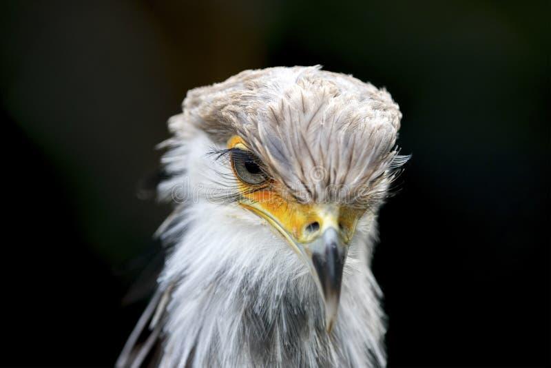 Αφρικανικό πουλί πουλιών γραμματέων του θηράματος στοκ φωτογραφίες