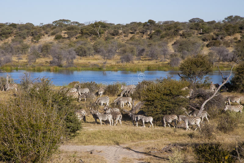 Αφρικανικό τοπίο: Zebras από τον ποταμό στοκ εικόνες