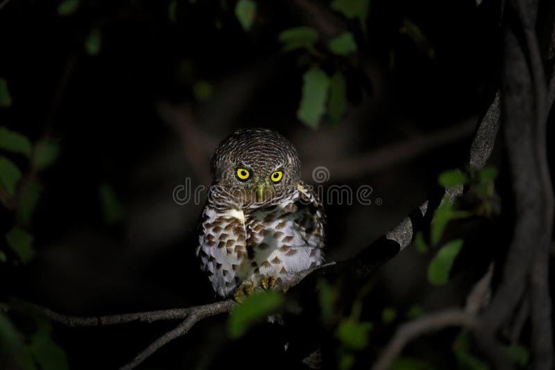 Αφρικανικό φραγμένο owlet, Glaucidium capense, πουλί στο βιότοπο φύσης στη Μποτσουάνα Ζωική συνεδρίαση νύχτας στον κλάδο δέντρων  στοκ φωτογραφία