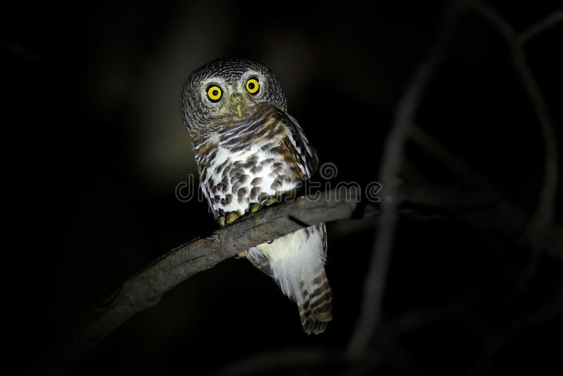 Αφρικανικό φραγμένο owlet, Glaucidium capense, πουλί στο βιότοπο φύσης στη Μποτσουάνα Ζωική συνεδρίαση νύχτας στον κλάδο δέντρων  στοκ φωτογραφία με δικαίωμα ελεύθερης χρήσης