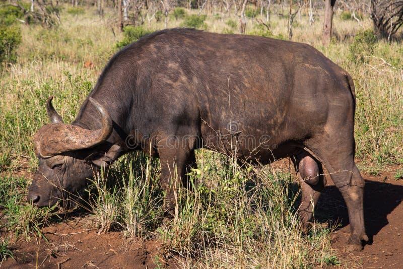 Αφρικανικό Buffalo στην ανατολική Νότια Αφρική στοκ εικόνες