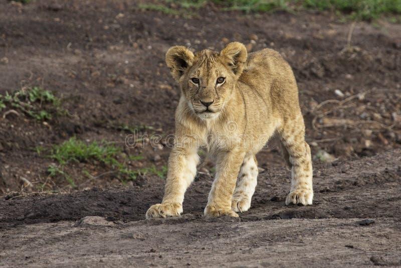 αφρικανικό cub λιοντάρι στοκ φωτογραφία με δικαίωμα ελεύθερης χρήσης