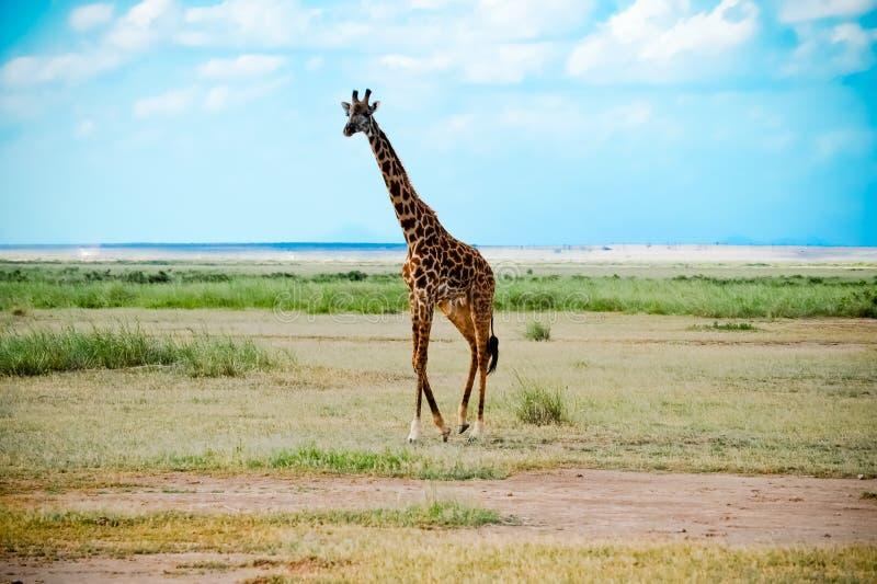 αφρικανικό giraffe περπάτημα σαβ& στοκ φωτογραφία