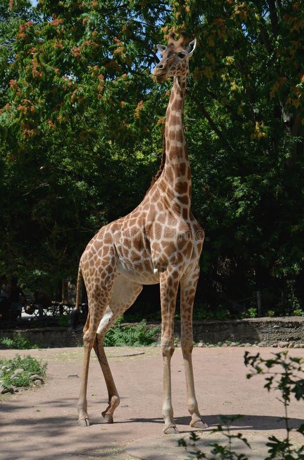 Αφρικανικό giraffe στο ζωολογικό κήπο της Δρέσδης Γερμανία στοκ φωτογραφία με δικαίωμα ελεύθερης χρήσης