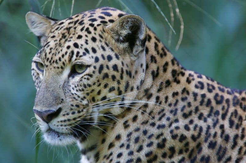 αφρικανικό leopard στοκ φωτογραφίες με δικαίωμα ελεύθερης χρήσης
