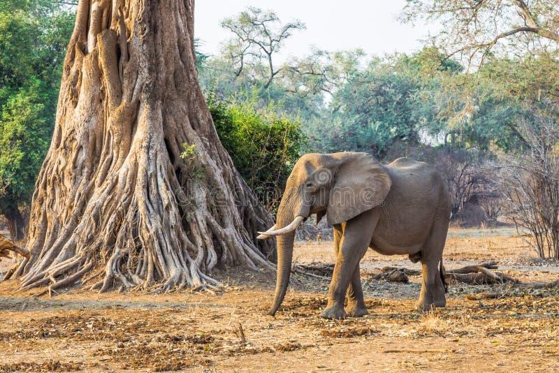 αφρικανικό loxodonta ελεφάντων στοκ φωτογραφία με δικαίωμα ελεύθερης χρήσης