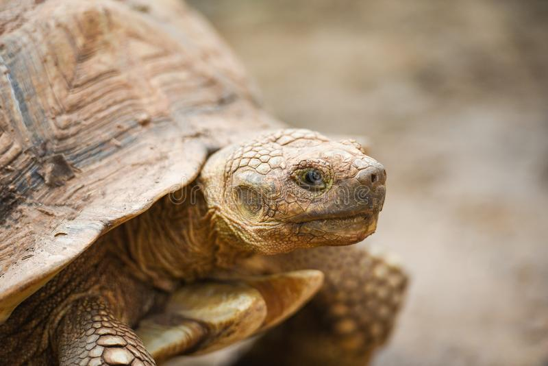 Αφρικανός κέντρισε/στενή επάνω επικεφαλής χελώνα στοκ φωτογραφίες με δικαίωμα ελεύθερης χρήσης