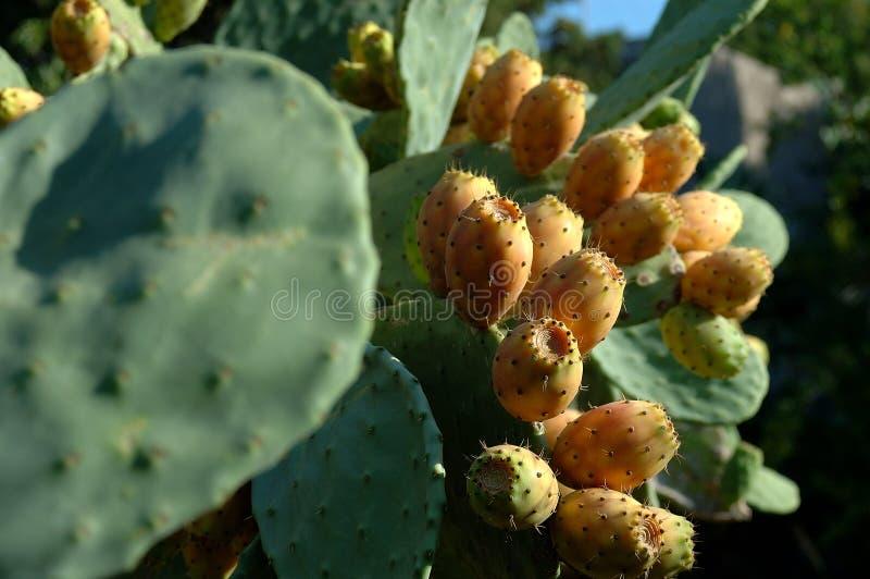 αχλάδια priclky στοκ εικόνα