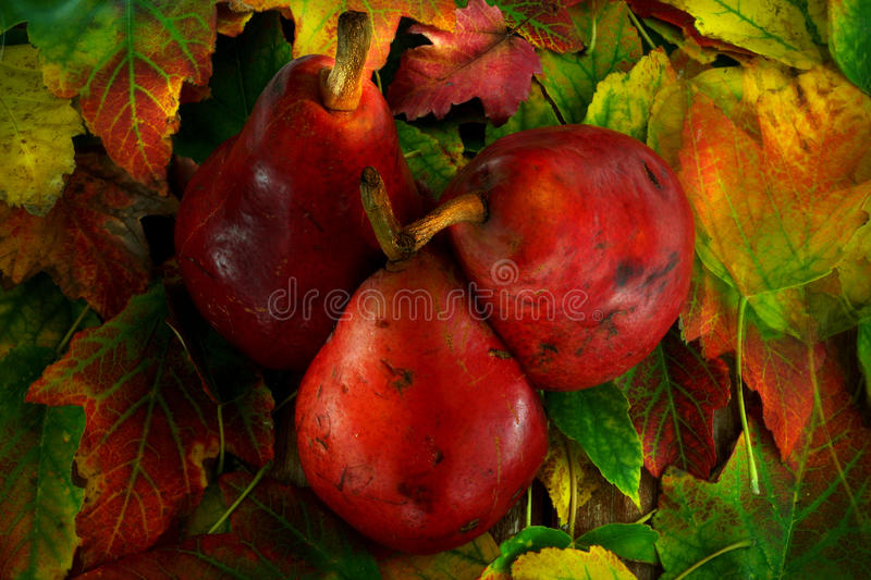 Αχλάδια το φθινόπωρο στοκ φωτογραφίες