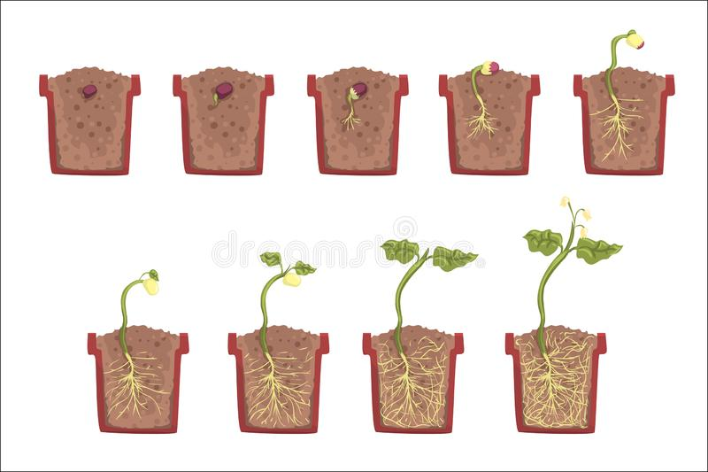 Αύξηση, εξέλιξη και ριζοβολία σπόρου εγκαταστάσεων μέσα στο δοχείο λουλουδιών, κλασικό εγχειρίδιο εκπαιδευτικό Infographic βοτανι απεικόνιση αποθεμάτων