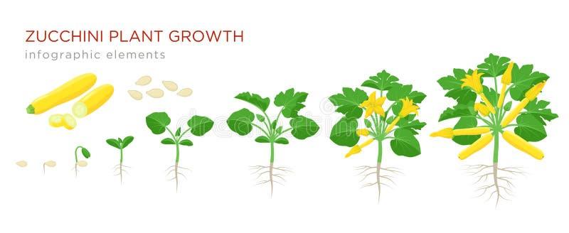 Αύξηση φυτών κολοκυθιών από το σπόρο, το νεαρό βλαστό, το άνθισμα και το ώριμο φυτό με τα ώριμα φρούτα Αυξανόμενα στάδια του διαν διανυσματική απεικόνιση