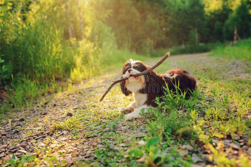 Download Αλαζόνας σκυλί σπανιέλ Charles βασιλιάδων Tricolor που απολαμβάνει το καλοκαίρι και που παίζει με το ραβδί στον περίπατο χωρών Στοκ Εικόνες - εικόνα από αστείος, υπαίθριος: 62722858