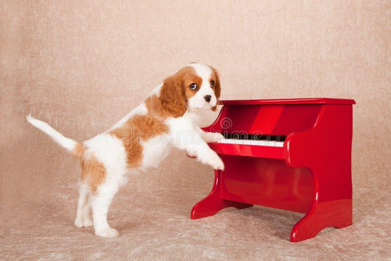Αλαζόνας σπανιέλ του Charles βασιλιάδων που στέκεται επάνω ενάντια στο κόκκινο πιάνο παιχνιδιών στο μπεζ υπόβαθρο στοκ εικόνα με δικαίωμα ελεύθερης χρήσης