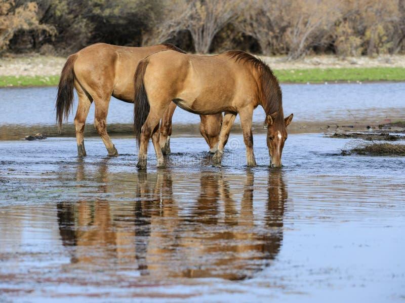 Αλατισμένα άγρια άλογα ποταμών στο ηλιοβασίλεμα στοκ φωτογραφία